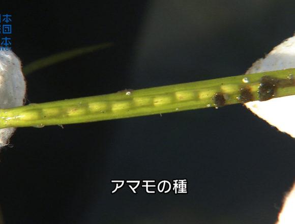 香川県-A・003かがわ里海大学アマモの種とり-s03